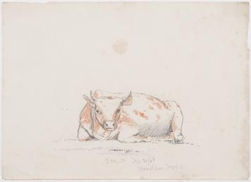 Reclining cow with short horns