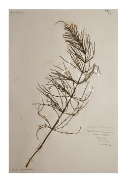 Field horsetail