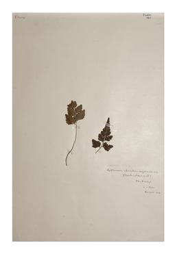 Black Spleenwort