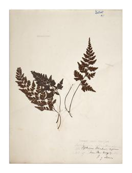Black Spleenwort