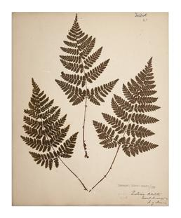 Broadbuckler Fern