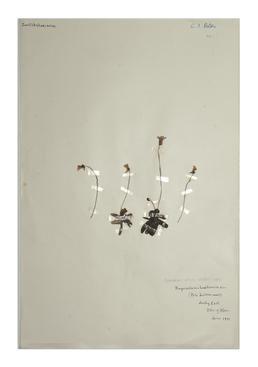 Pale Butterwort