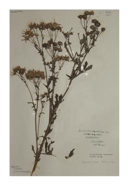 Marsh Ragwort