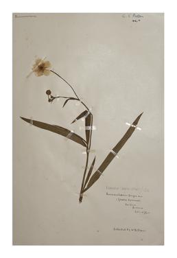 Greater spearwort