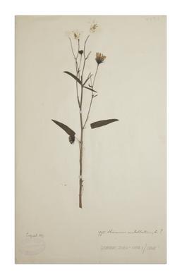 A hawkweed