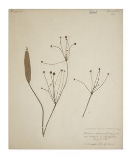 Lesser Water-plantain