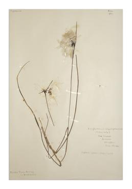 Common Cotton-grass