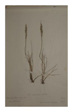 Sea Meadow-grass