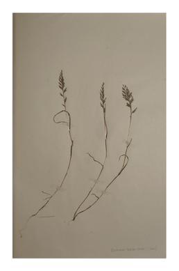 Fern Grass