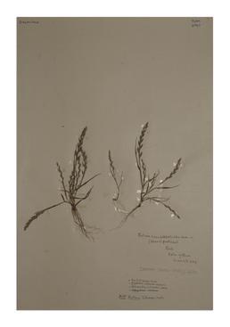 Sea Fern Grass