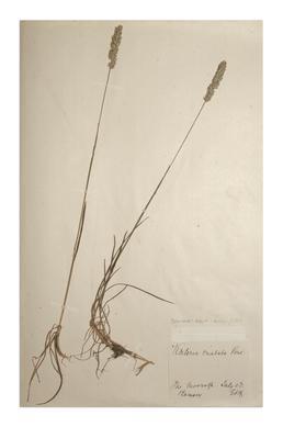 Crested Hair-grass