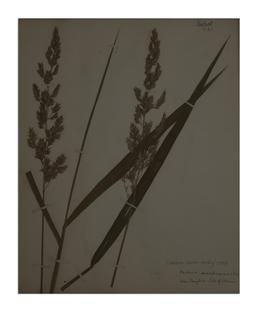 Reed Canary-grass