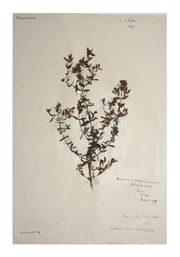 Perforate St Johns Wort