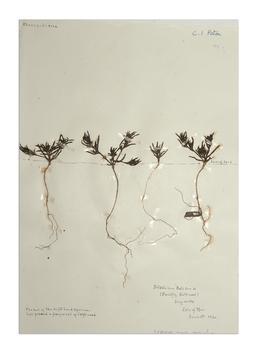 Prickly Saltwort