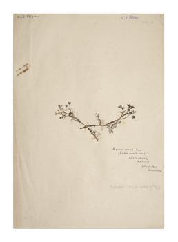 Lesser Marshwort