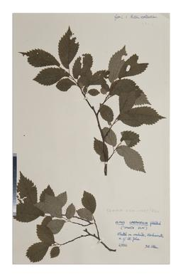 Smooth Leaved-elm