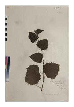 Grey Poplar