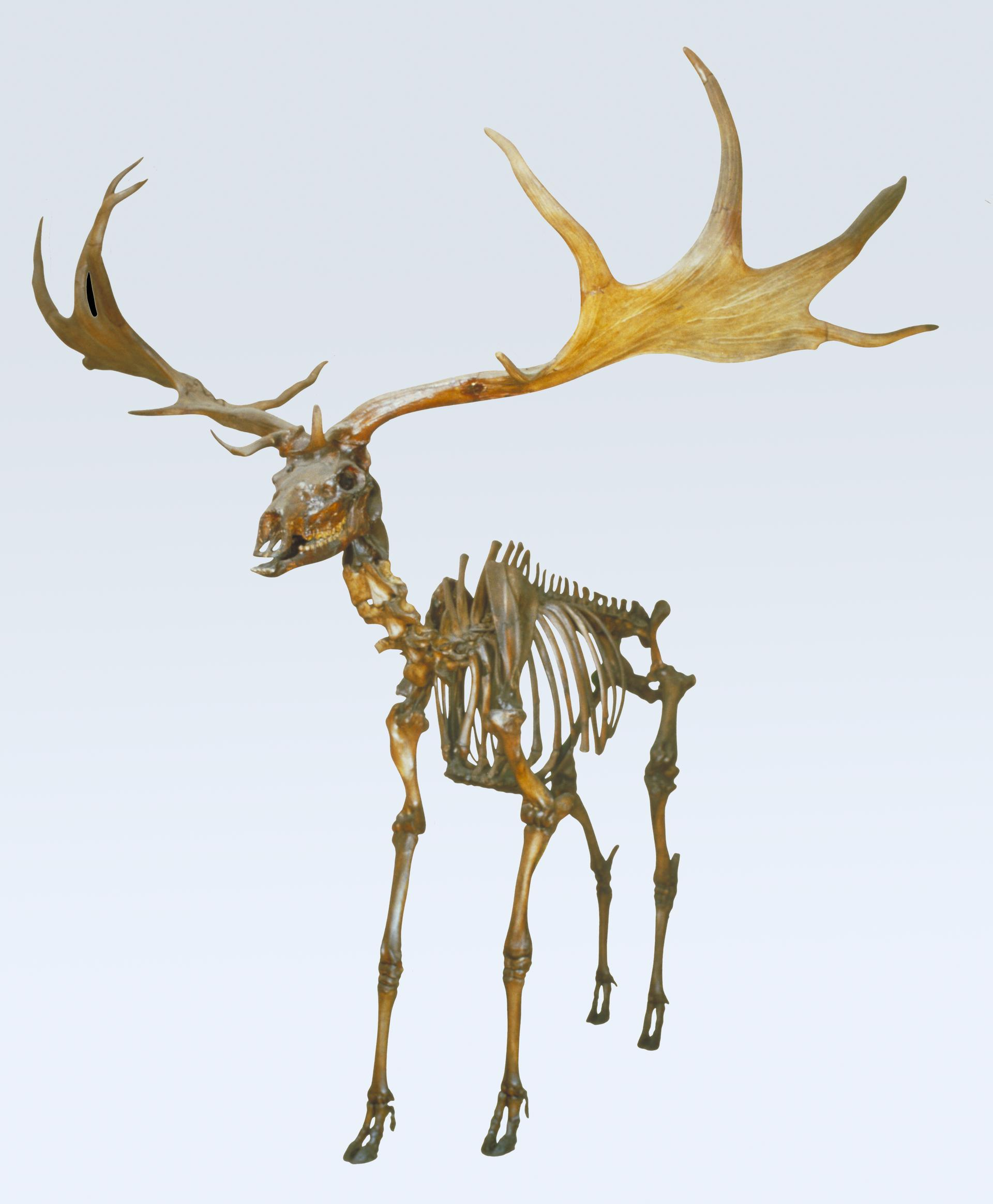 Giant deer skeleton Natural History Zoology Collection i