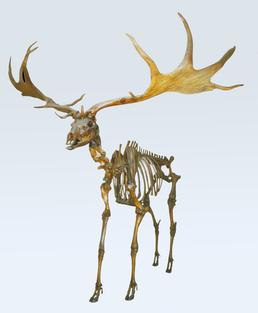 Giant deer skeleton