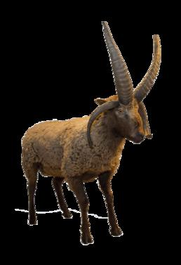 Loghtan sheep