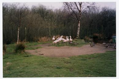 Flamingoes at the Wildlife Park, Ballaugh