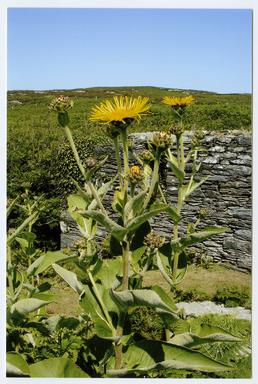 Elecampane at the site of the old mill,…