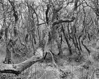 Trees, the Curraghs