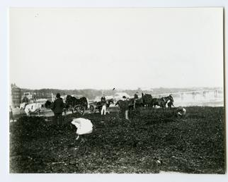 Gathering wrack on Douglas shore
