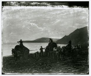 Gathering wrack at Ramsey shore with horses and…